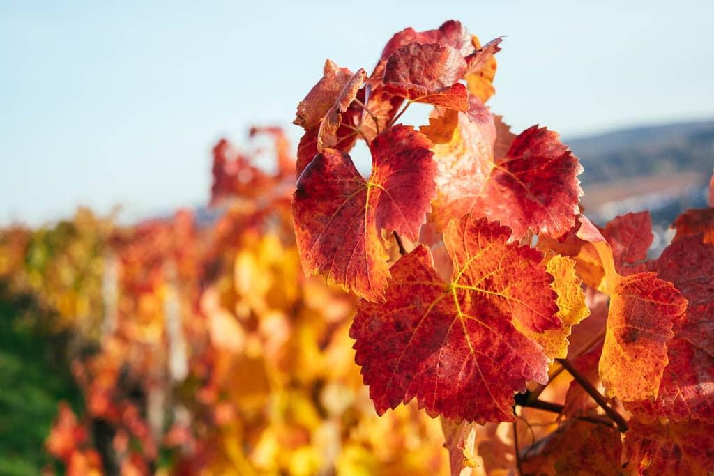 Wineyard Bad Neuenahr